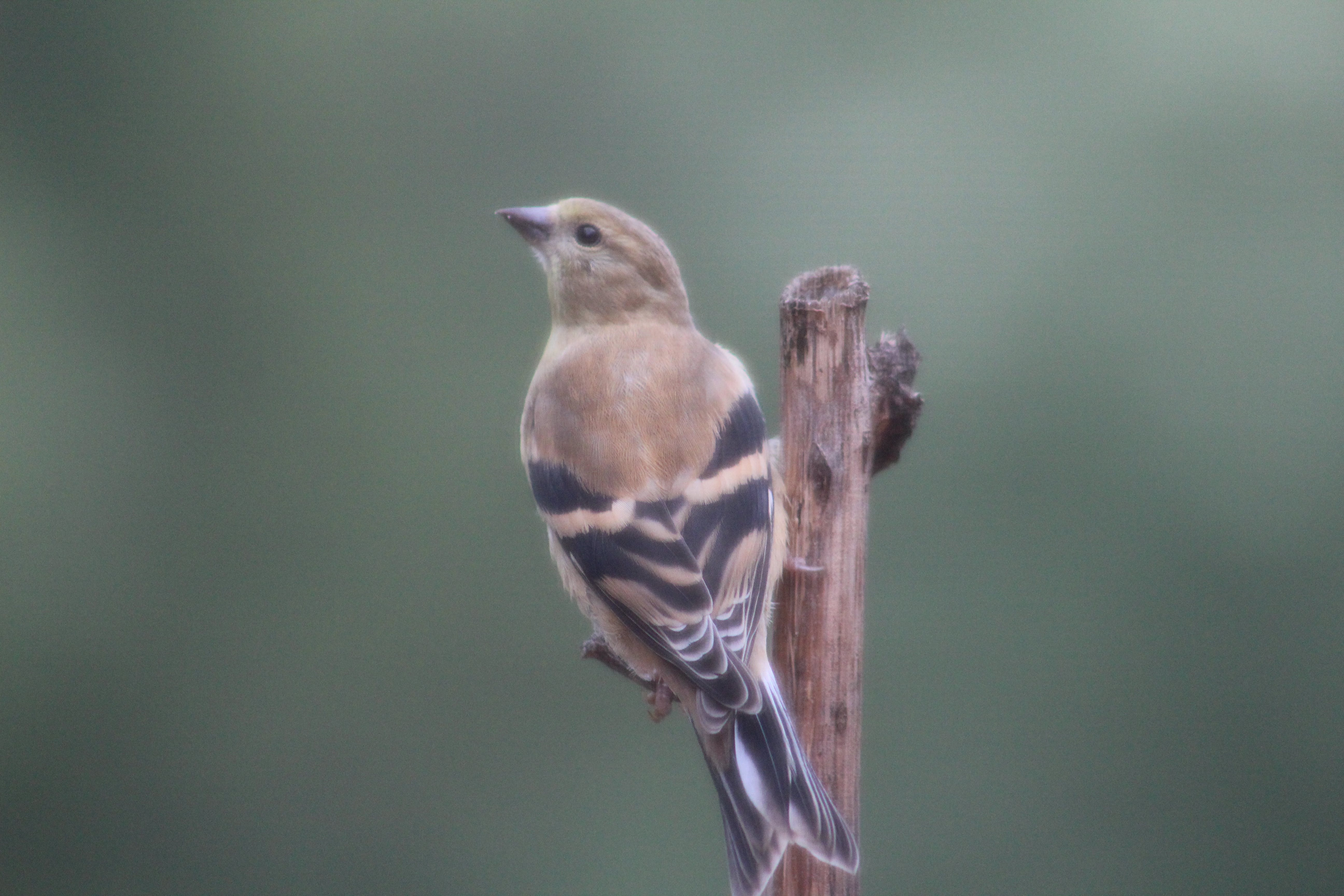Free stock photo of American Goldfinch, birds, female birds, female goldfinch