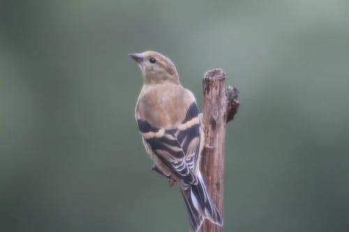 Darmowe zdjęcie z galerii z amerykański szczygieł, ptaki śpiewające, samice ptaków, szczygieł żeński