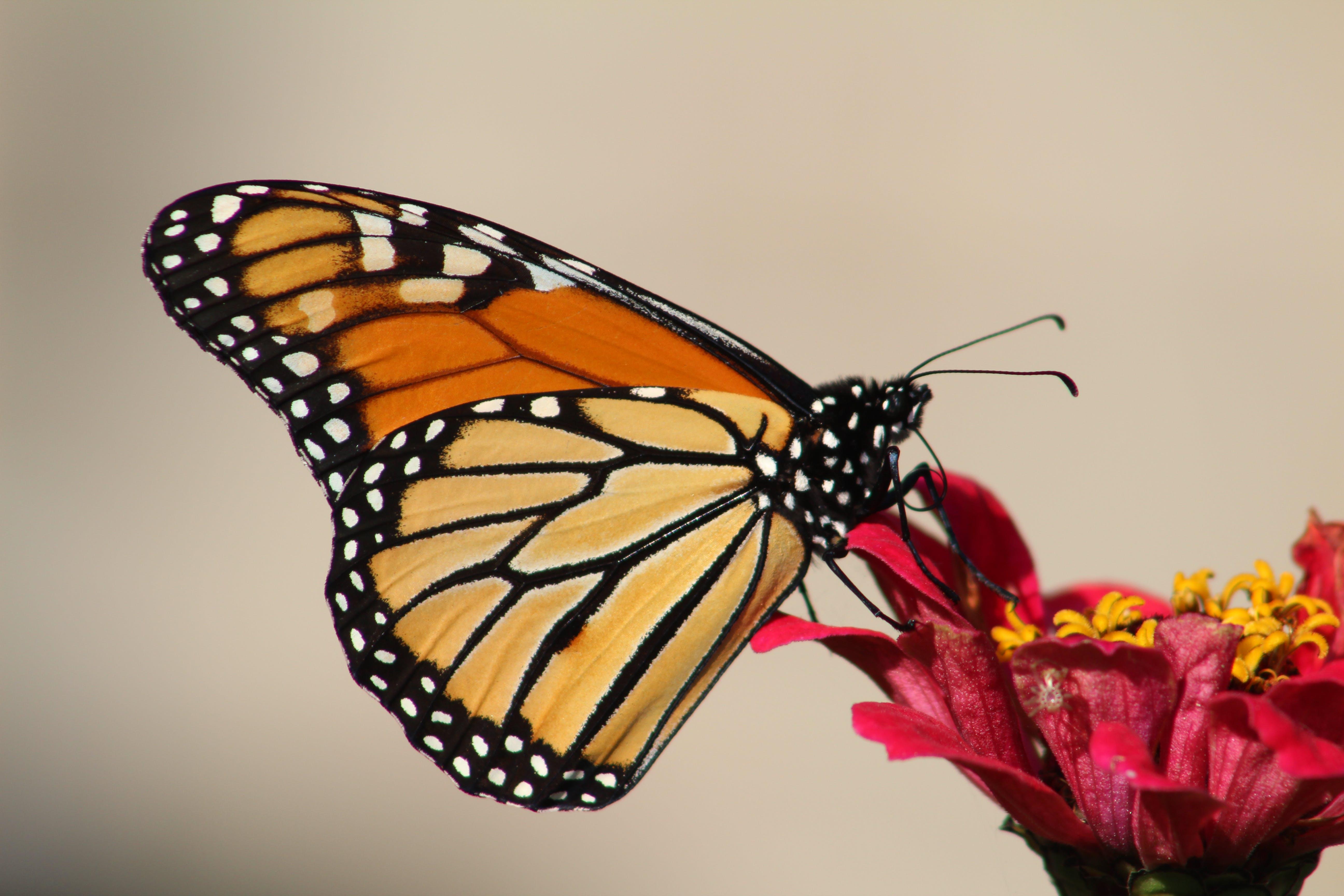 動物, 夏天, 帝王蝶, 微妙 的 免费素材照片