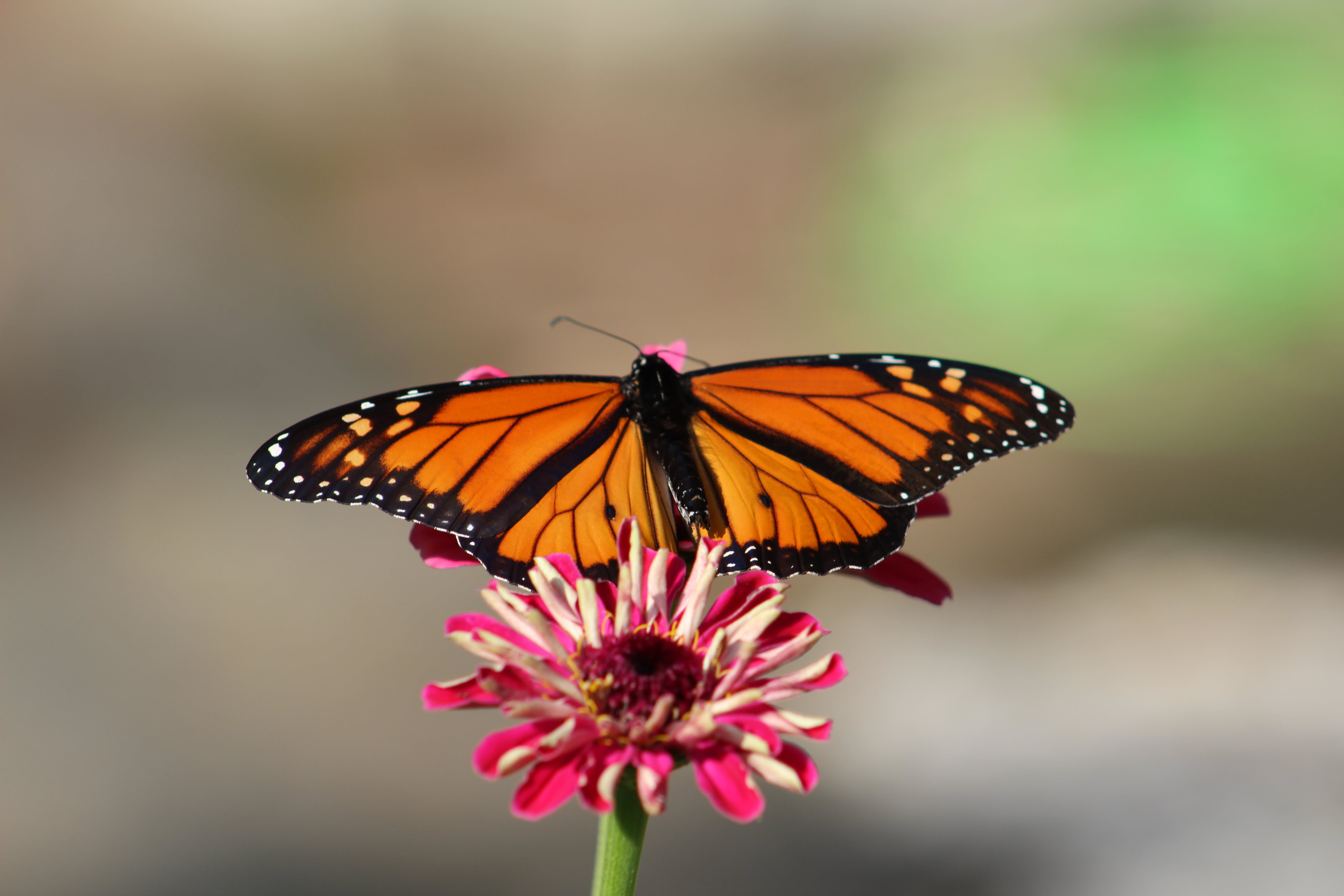 Free stock photo of butterflies, butterfly, insects, monarch butterfly