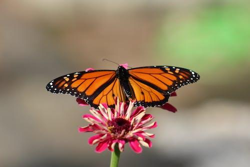 Darmowe zdjęcie z galerii z cynia, motyl, motyl monarchy, motyle