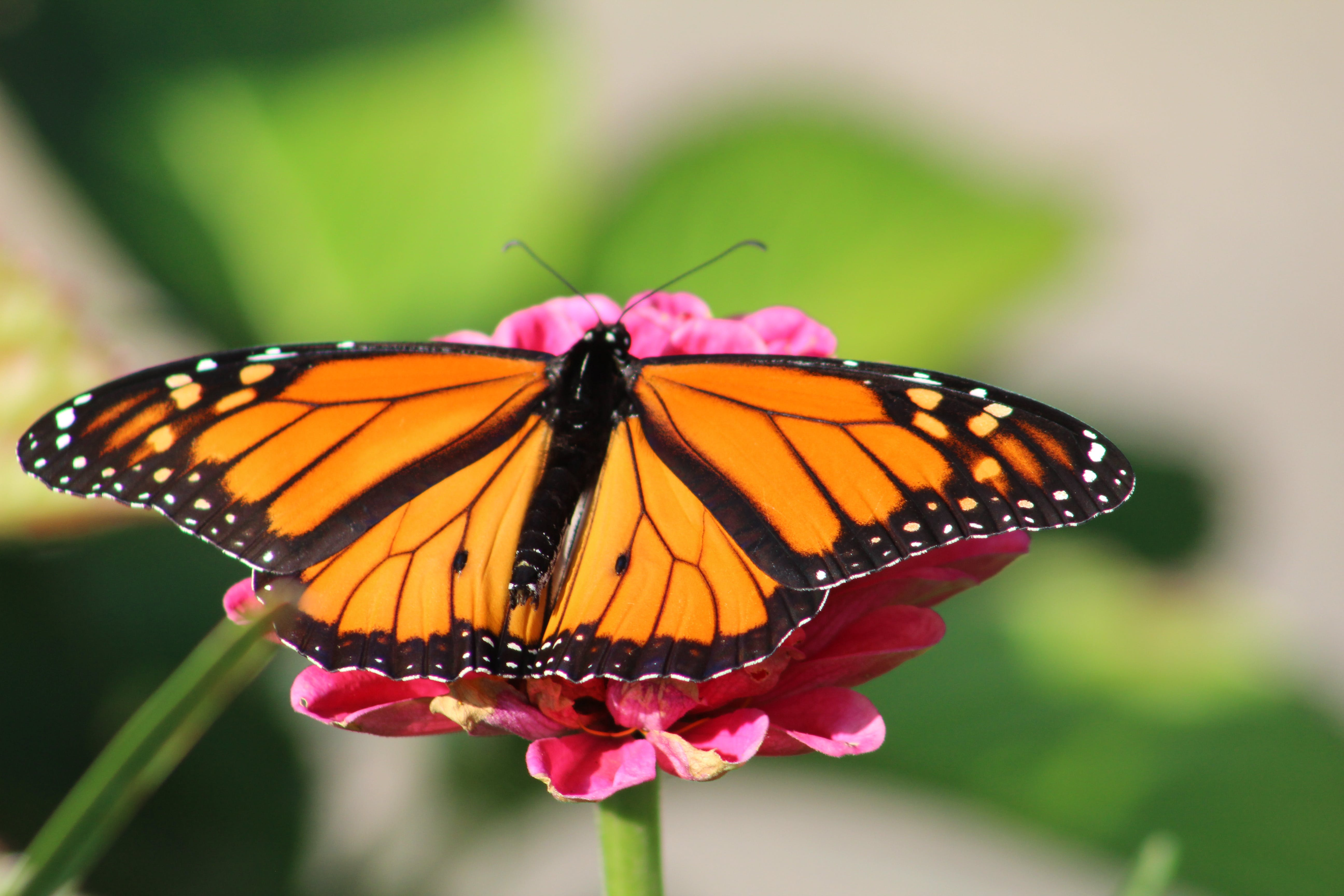 Free stock photo of butterflies, butterfly on a flower, insects, monarch butterfly