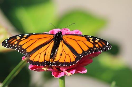 Darmowe zdjęcie z galerii z cynia, kolor pomarańczowy, motyl monarchy, motyl na kwiatku
