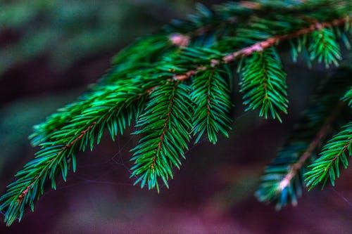 Gratis lagerfoto af fyrretræ