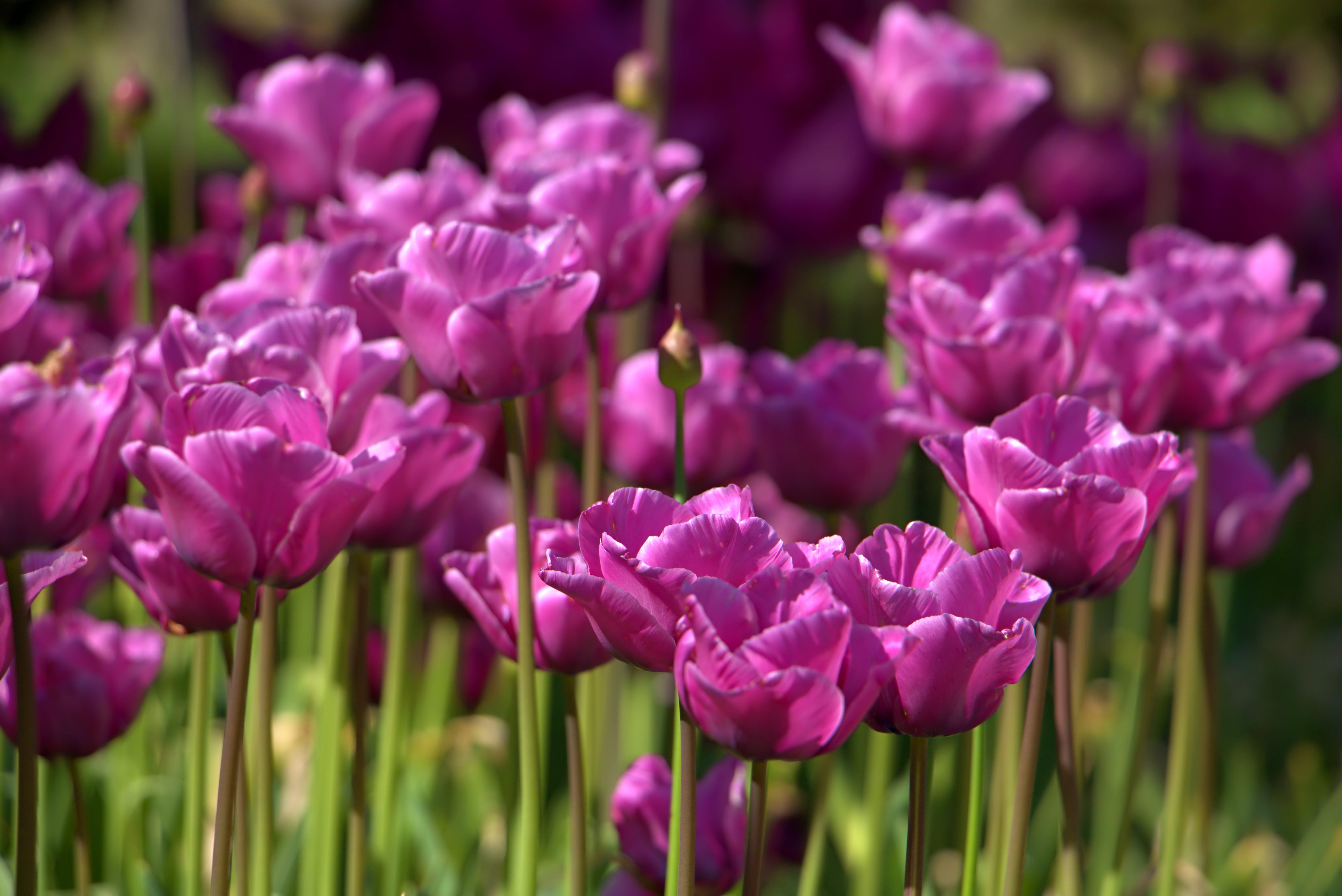 Free stock photo of beautiful flowers, pink flowers, tulips