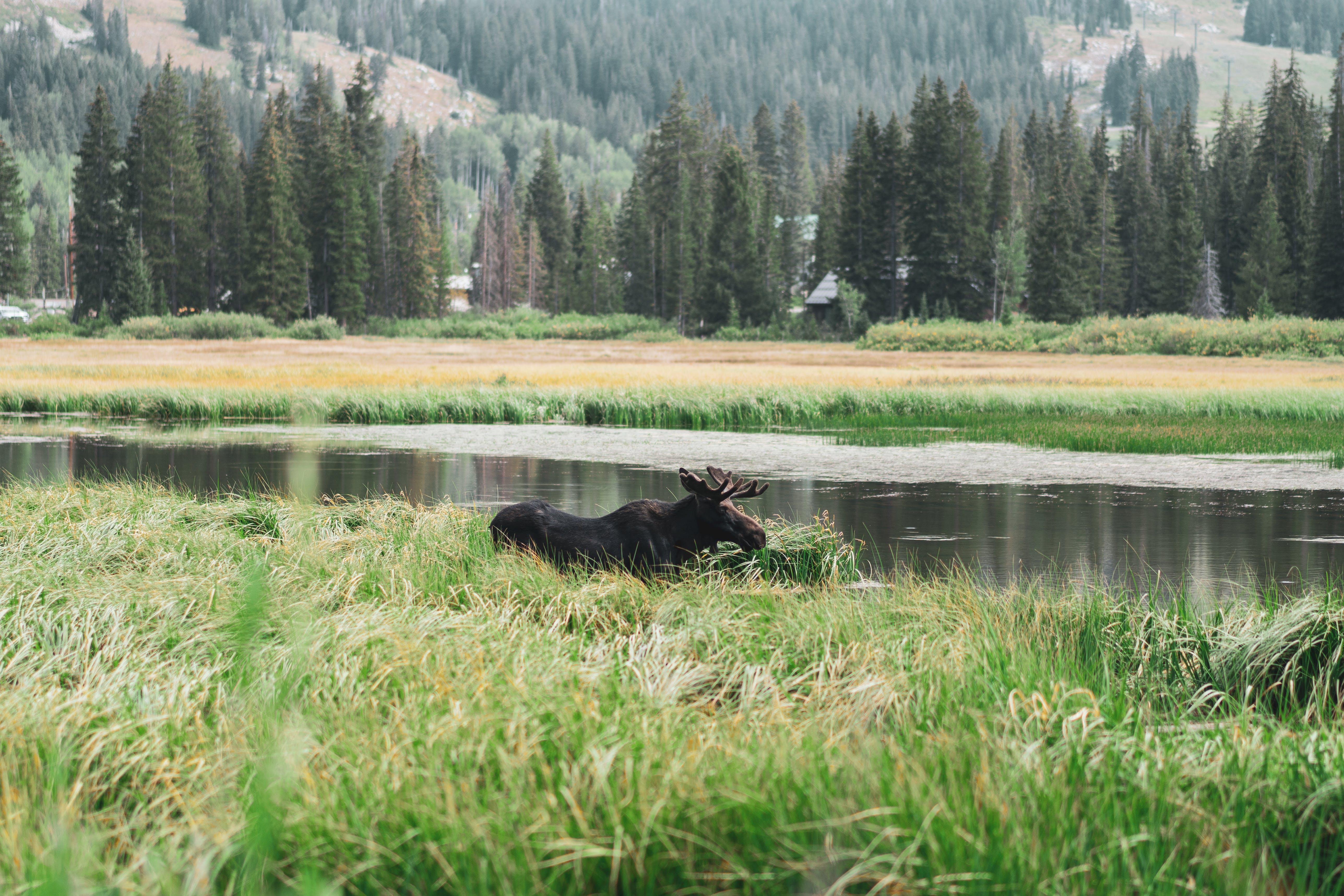 Free stock photo of cloudy, colorado, light reflections, moose