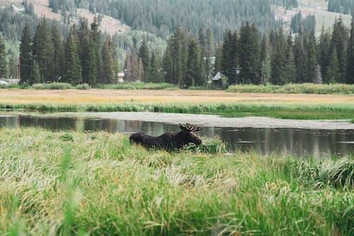 Gratis arkivbilde med colorado, dyreliv, dyreverdenfotografier, elg