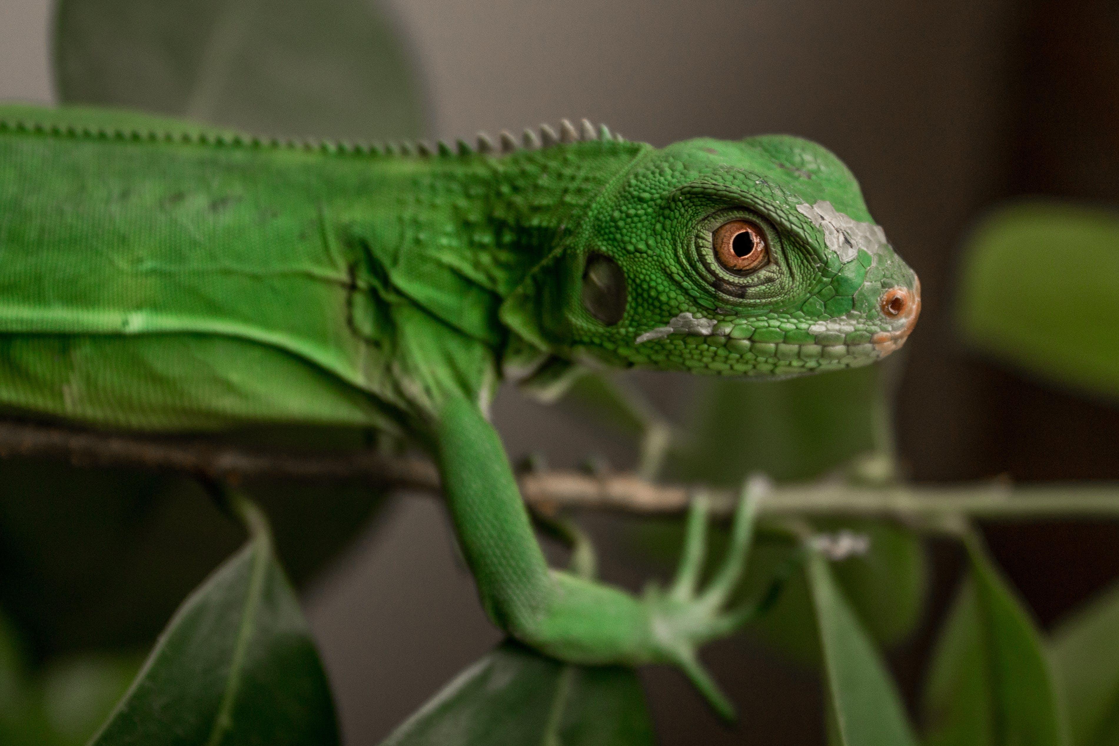 Green Lizard On A Plant