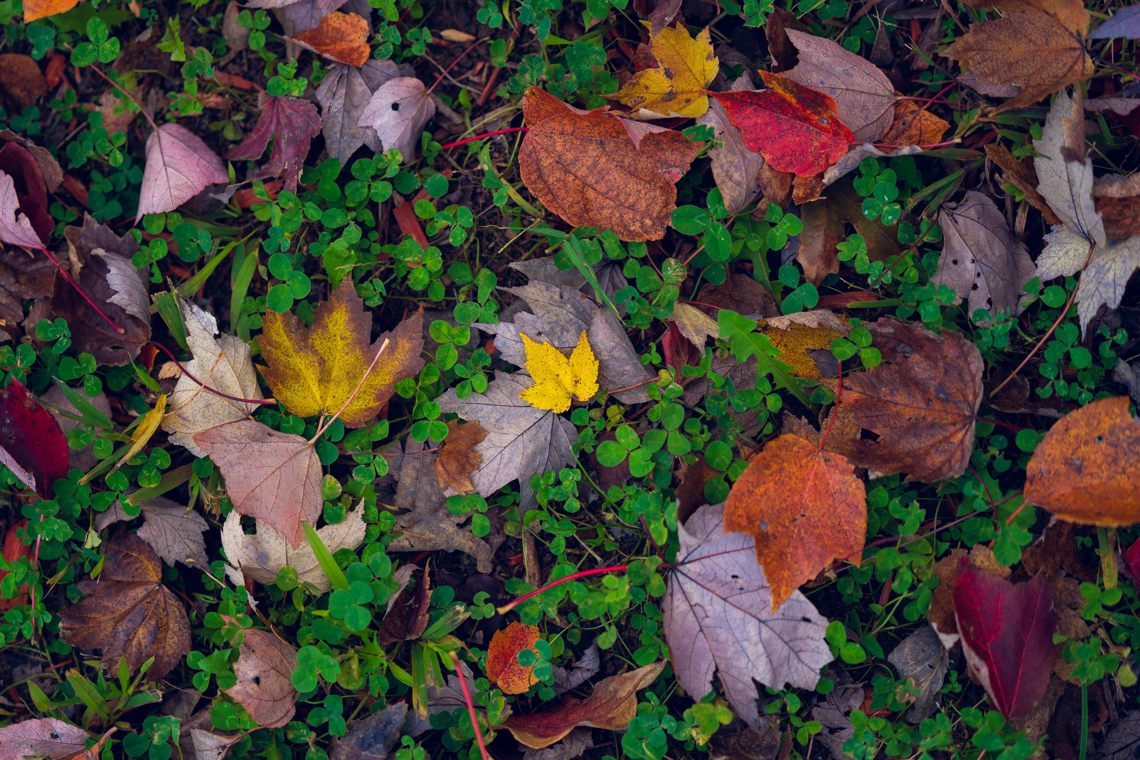 Free stock photo of autumn, autumn colors, autumn leaves, backgrounds