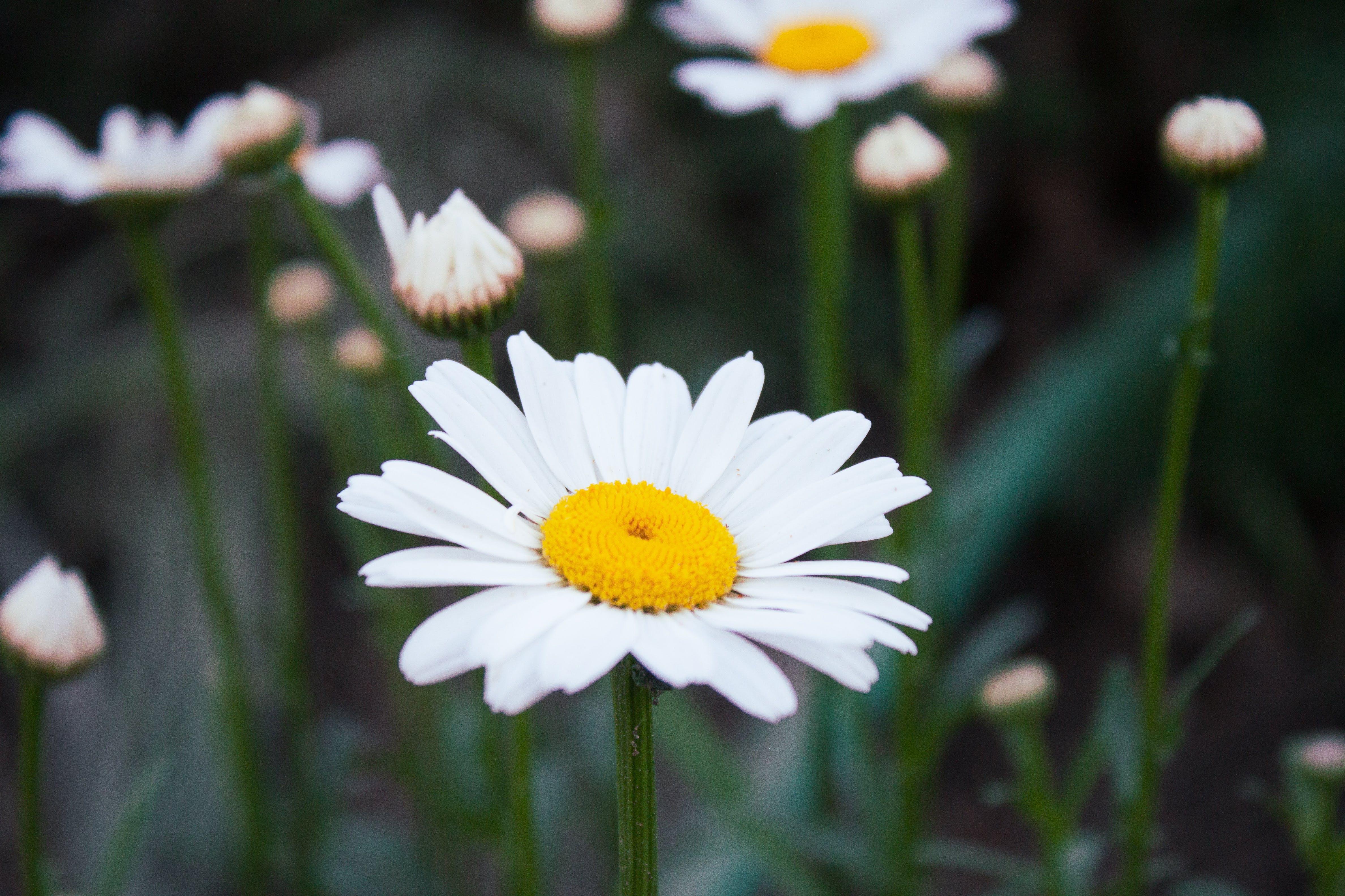 Free stock photo of beautiful flowers, daisy, flower, flower garden