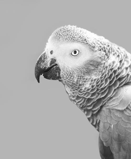 Gratis arkivbilde med afrika, afrikansk, afrikansk grå papegøye, dagslys