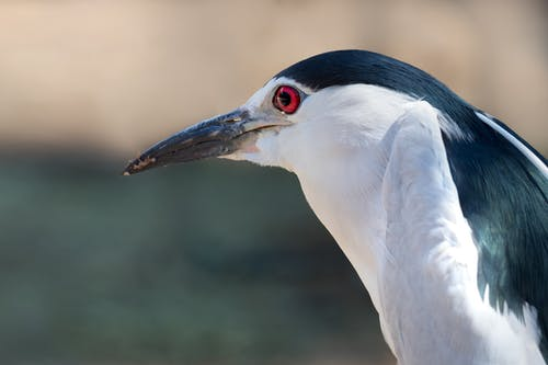 Shallow Focus Photo of Black-Crowned Night-Heron