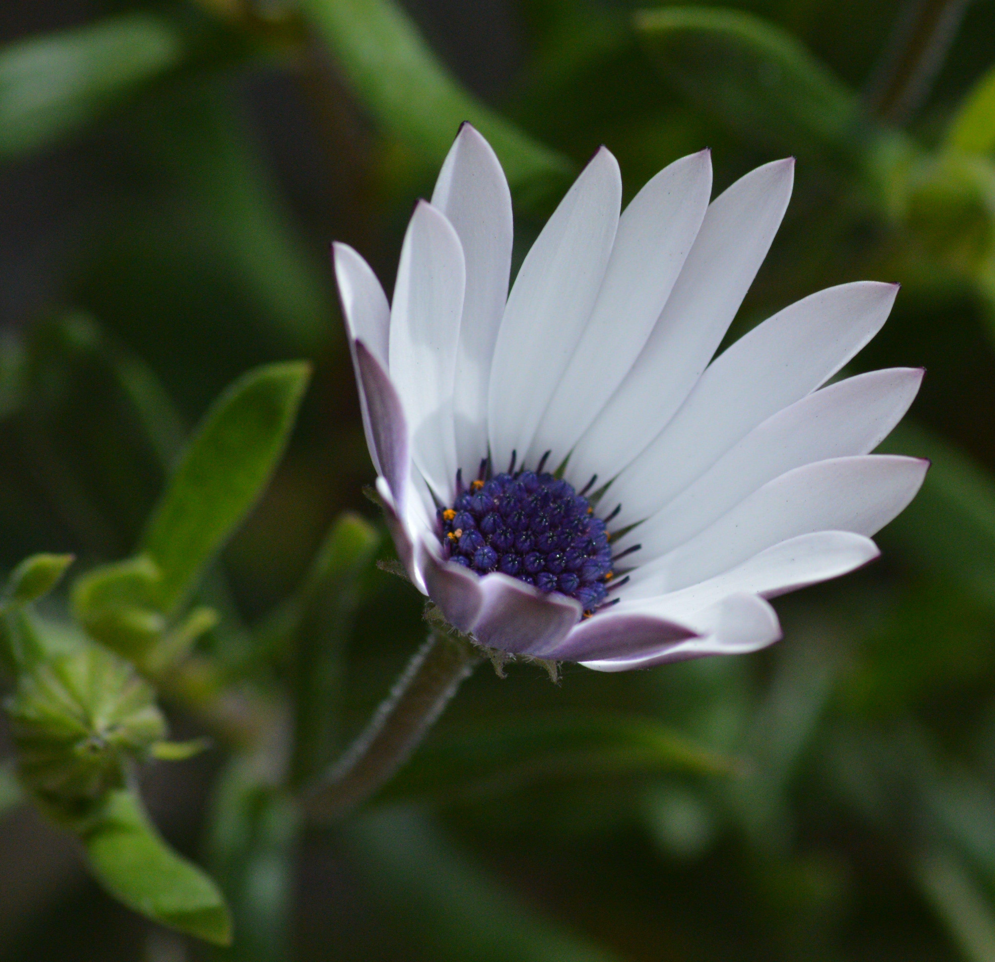 Free stock photo of bud, flower, petals