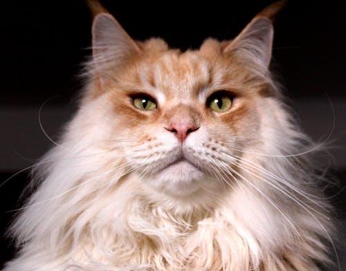 #cat #feline #orange #breed #stand #paws #ears의 무료 스톡 사진