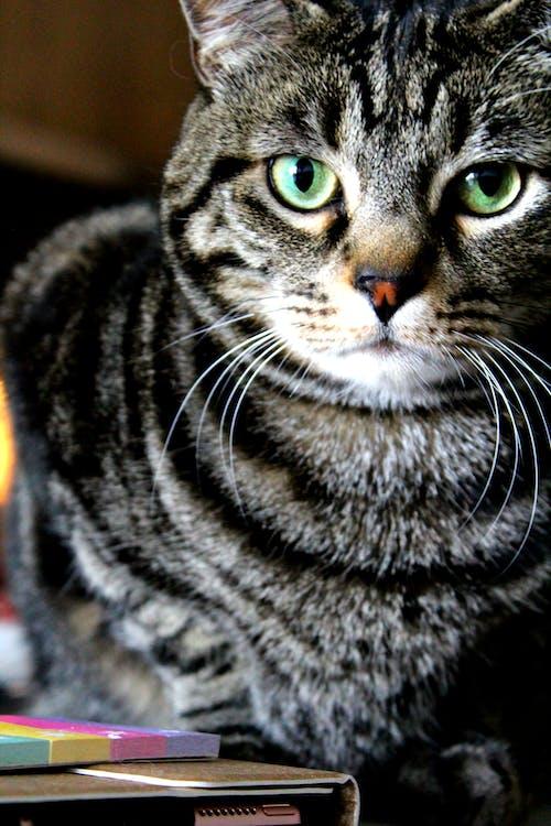 #cat #feline #tabby #brown #stripes #look #face의 무료 스톡 사진