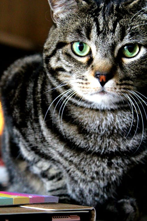 #cat #firmy #tabby #brown #stripes #look #face