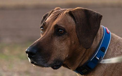 Foto profissional grátis de adulto, cachorro, cão africano, foco seletivo