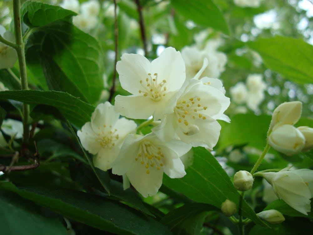 Free stock photo of jasmine, jasmine flower, summer
