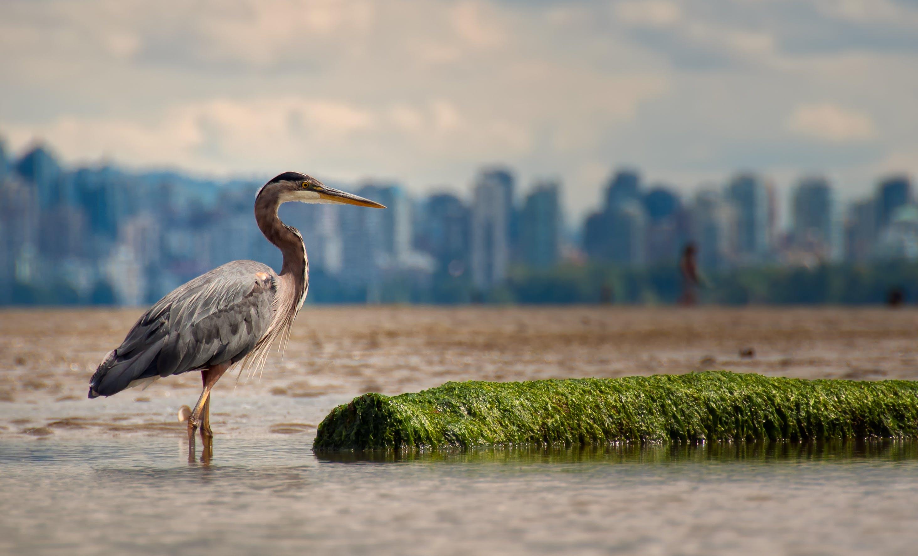 Great Blue Heron Standing On Water