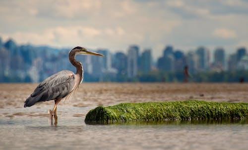 akbalıkçıl, balıkçıl, bataklık, hayvan içeren Ücretsiz stok fotoğraf