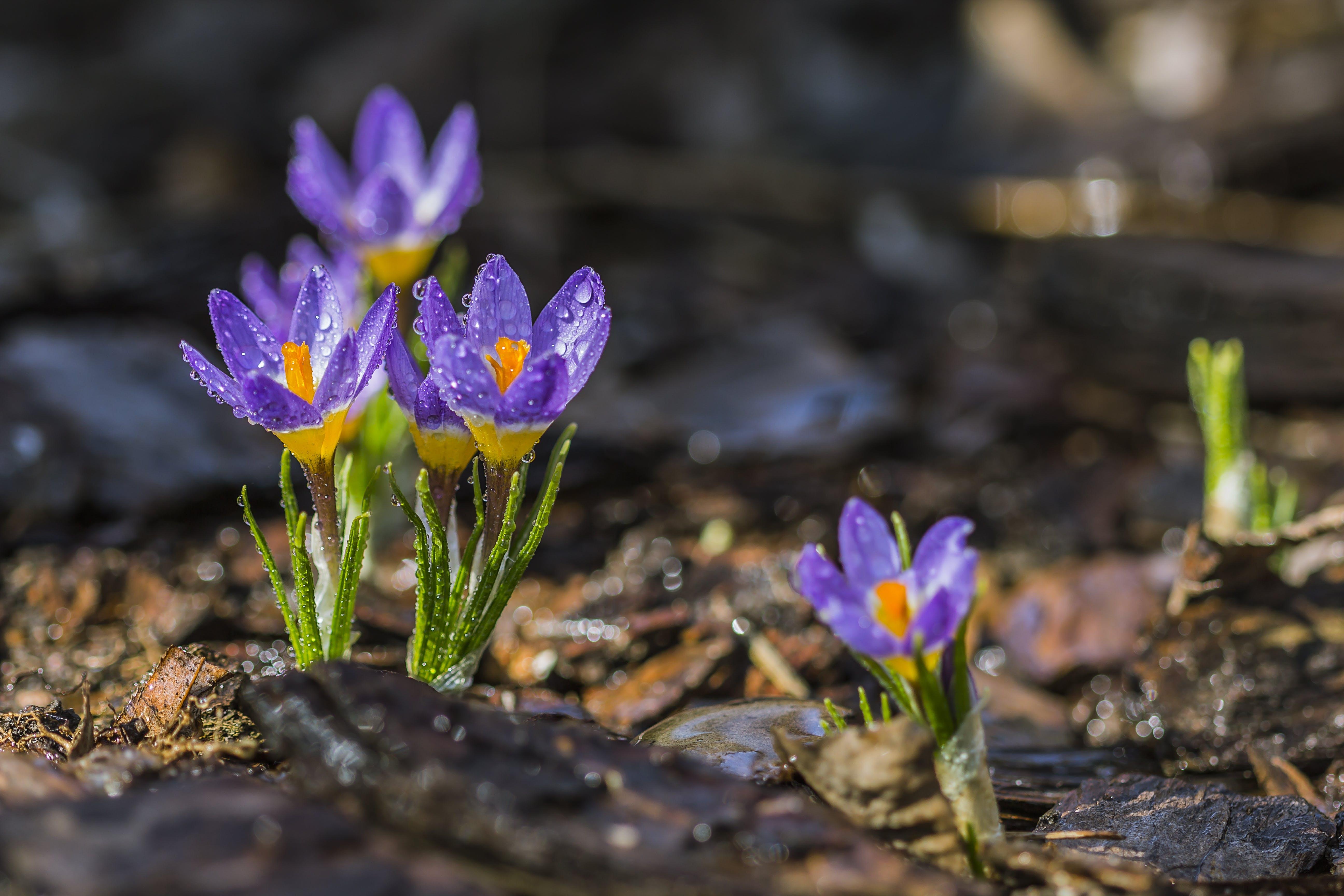 クロッカス, フラワーズ, フローラ, 咲くの無料の写真素材