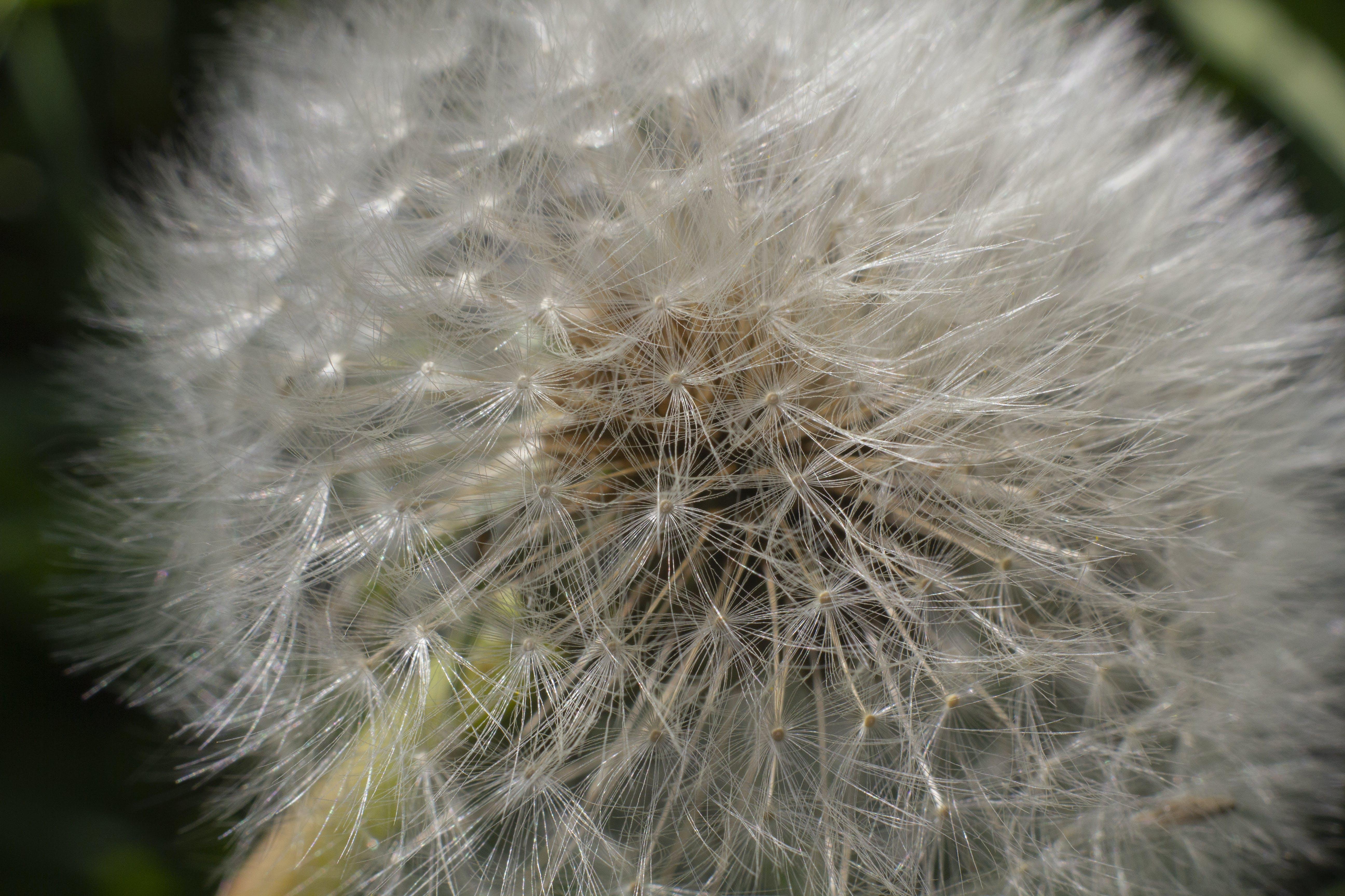 Free stock photo of closeup, dandelion, flower, grass