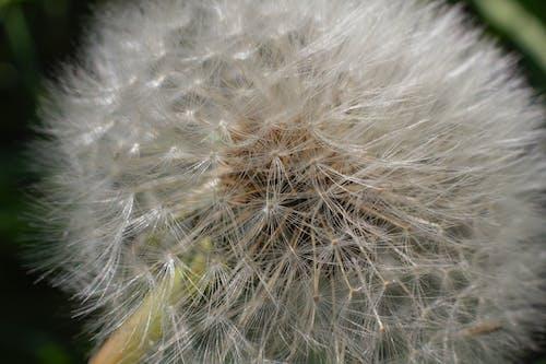 คลังภาพถ่ายฟรี ของ ขาว, ดอกแดนดิไลออน, ดอกไม้, หญ้า