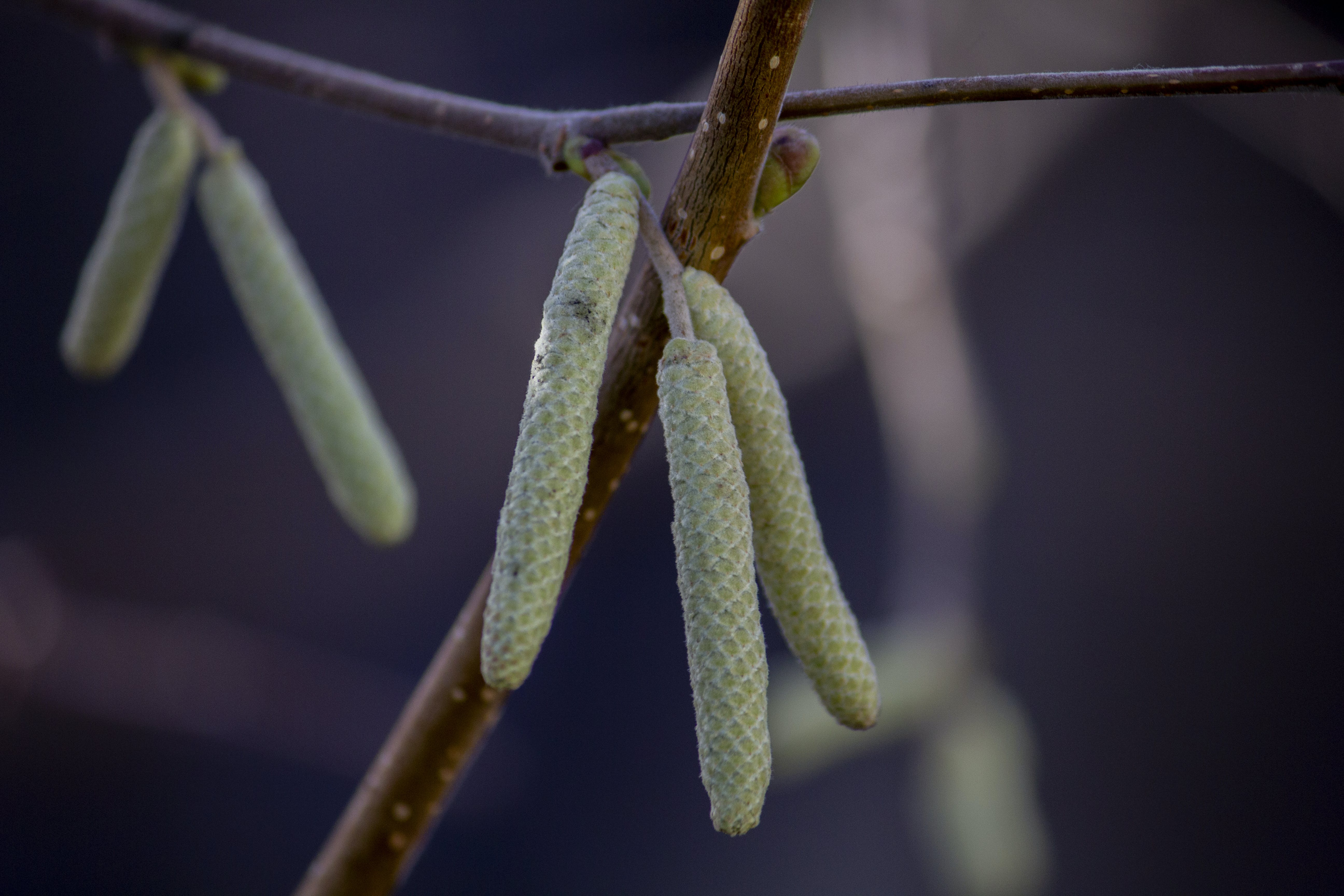 Free stock photo of autumn, branch, buds, dry