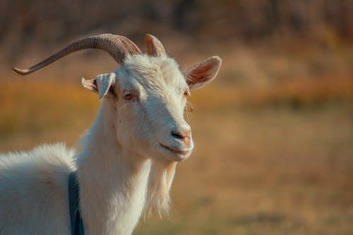 คลังภาพถ่ายฟรี ของ สัตว์, หญ้า, เด็ก, แพะ