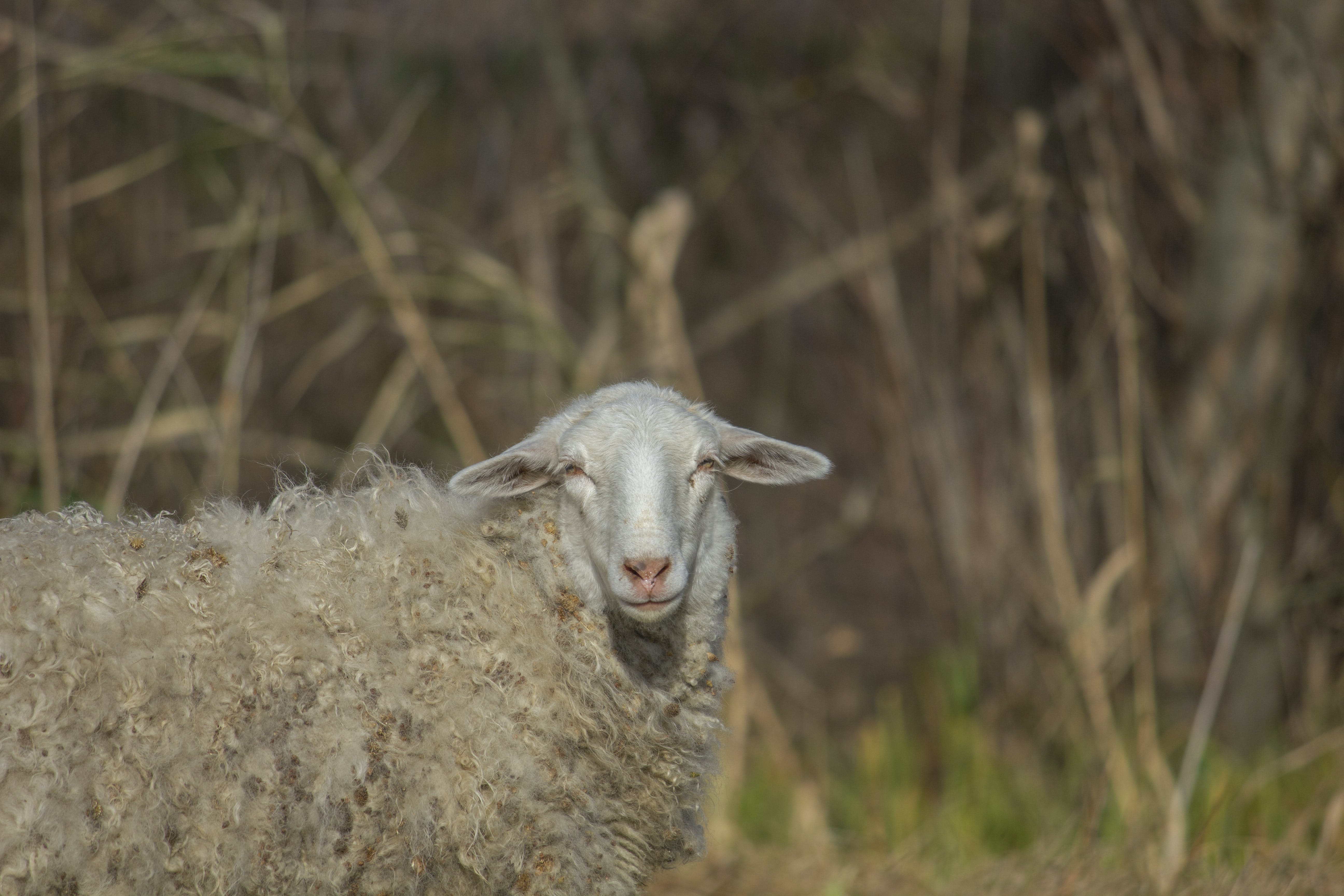 Gratis stockfoto met beest, droog, gras, schapen