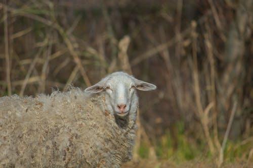 Бесплатное стоковое фото с животное, овца, сухой, трава