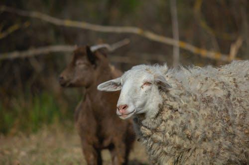 Бесплатное стоковое фото с животное, коза, овца, ребенок