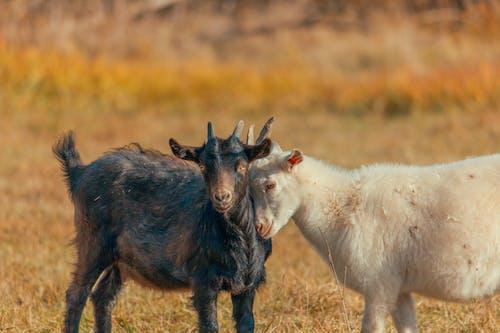 Бесплатное стоковое фото с животное, коза, ребенок, сухой