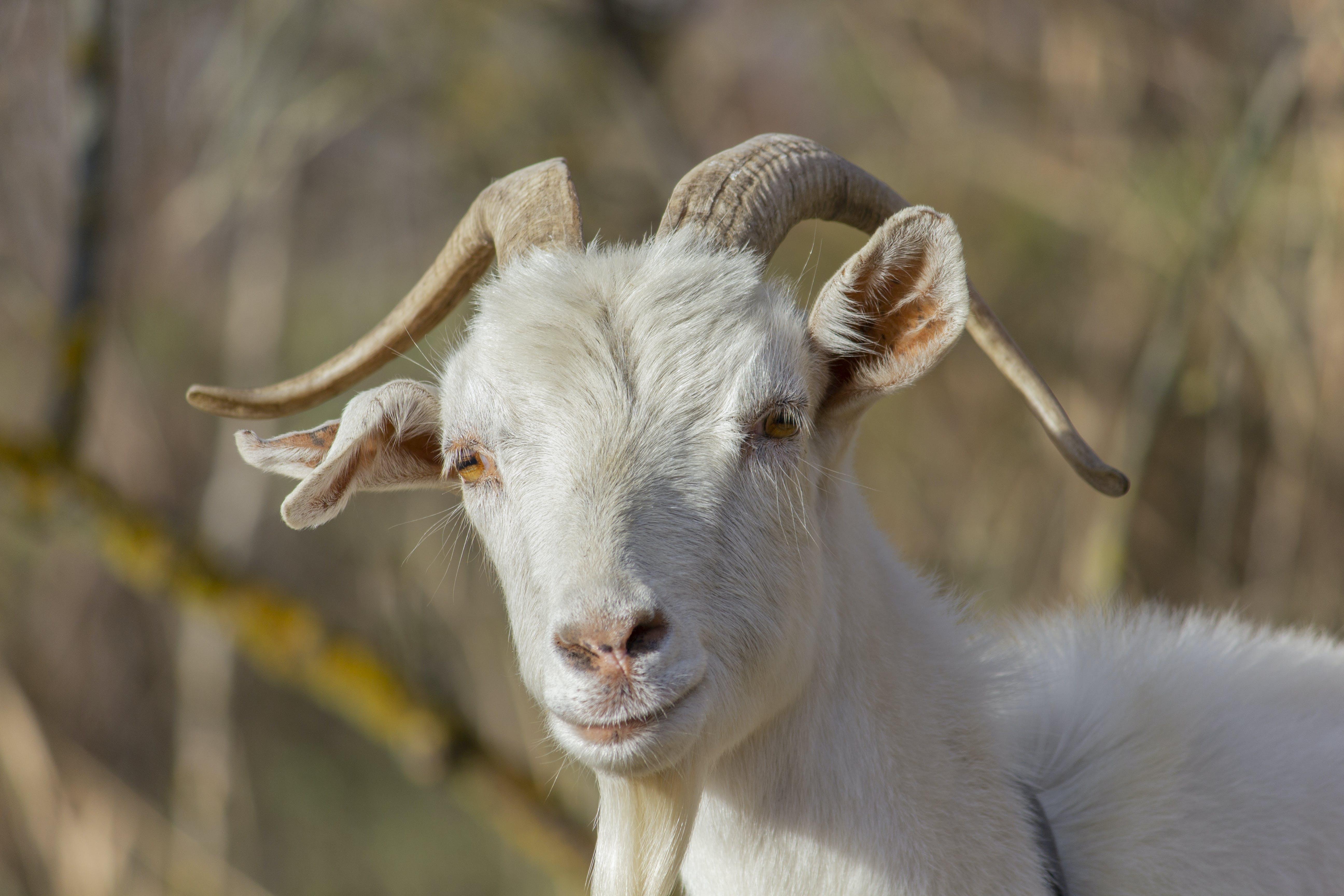 Free stock photo of animal, autumn, dry, goat