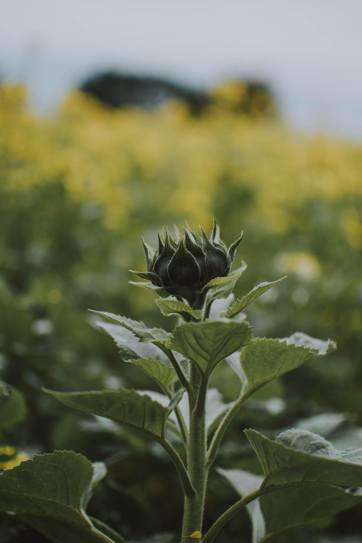 Green Rose Bud
