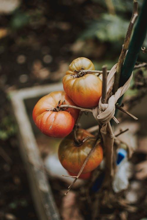 トマト, フード, フルーツ, 庭園の無料の写真素材