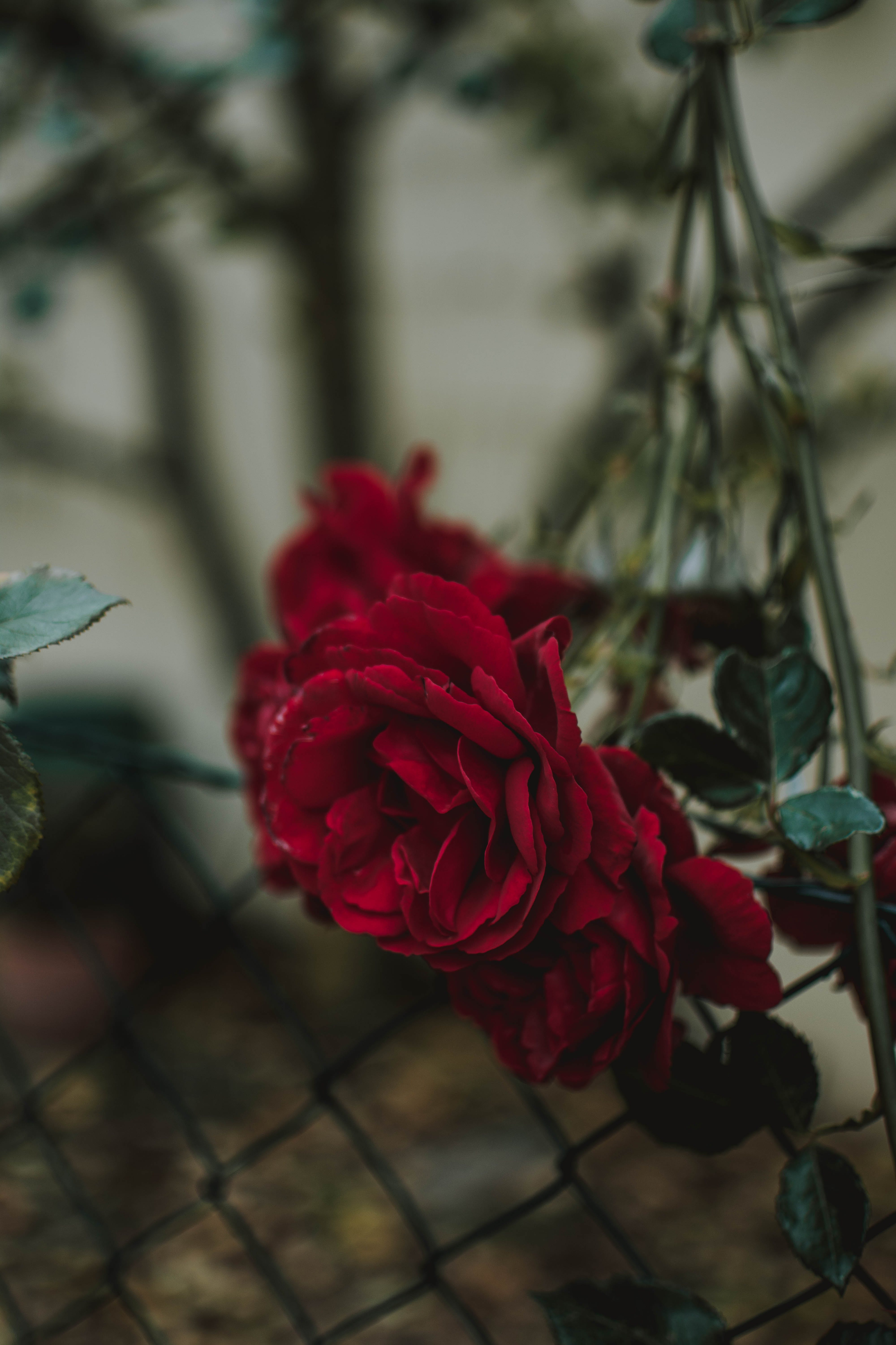 Red Rose In Tilt Shift Lens Photography