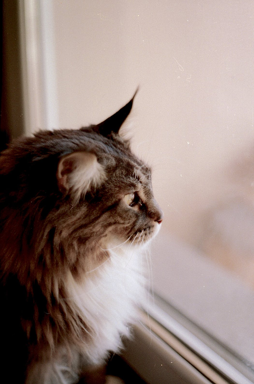 Brown and Gray Haired Cat Looking Out the Glass Window