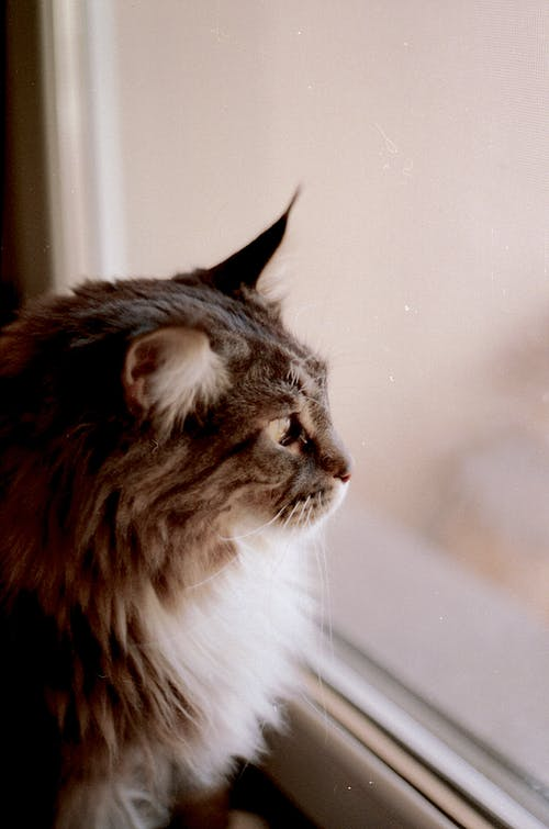Základová fotografie zdarma na téma chlupatý, domácí mazlíček, kočka, kočkovití