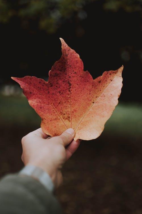 клен, кленовый лист, рука