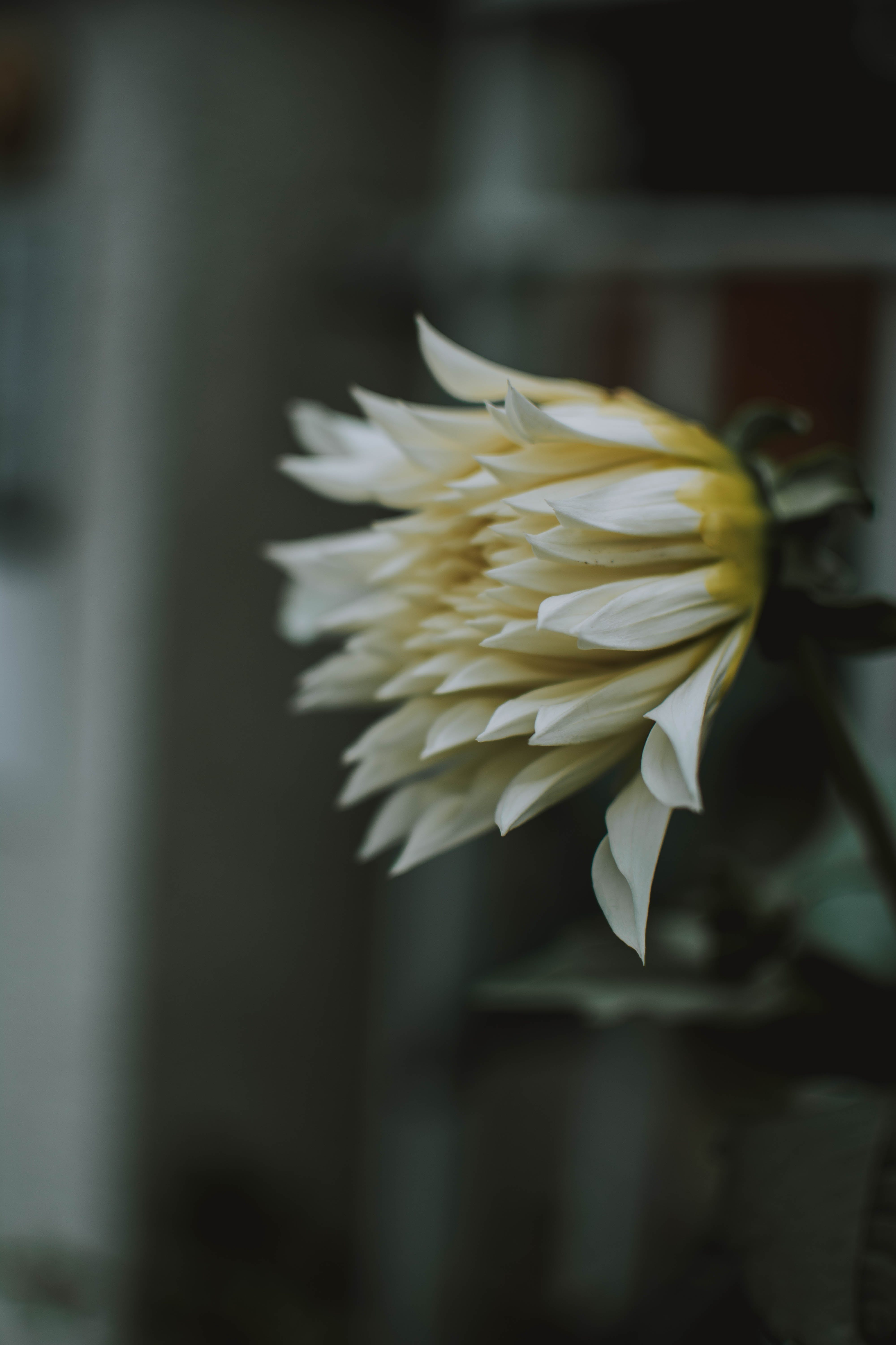 Selective Focus Photography of White Chrysanthemum Flower