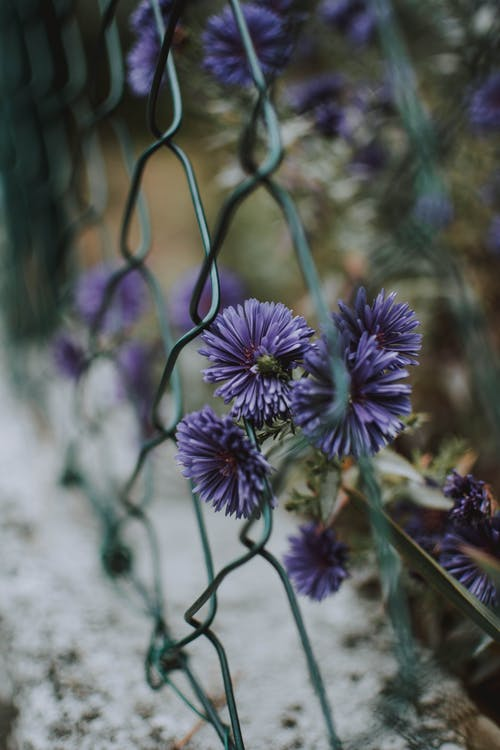 Purple Flowers On Green Chain Link Fence