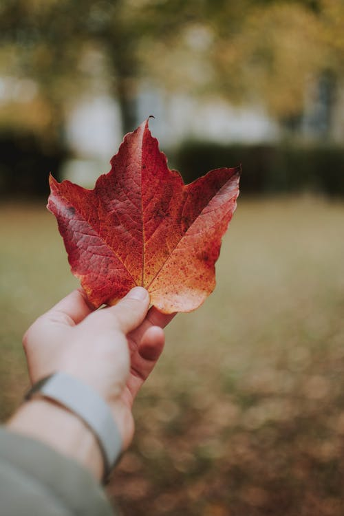 Photo of a Person's Hand Holding a Maple Leaf