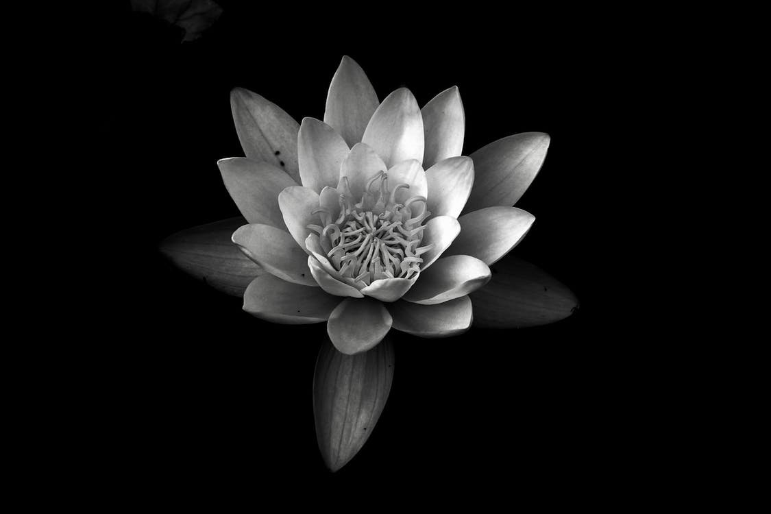 Grayscale Photography of Water Lily
