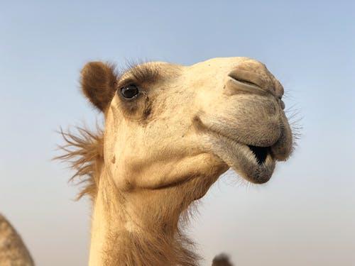 Free stock photo of arabian camel, desert