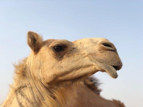 Free stock photo of arabian camel, dubai