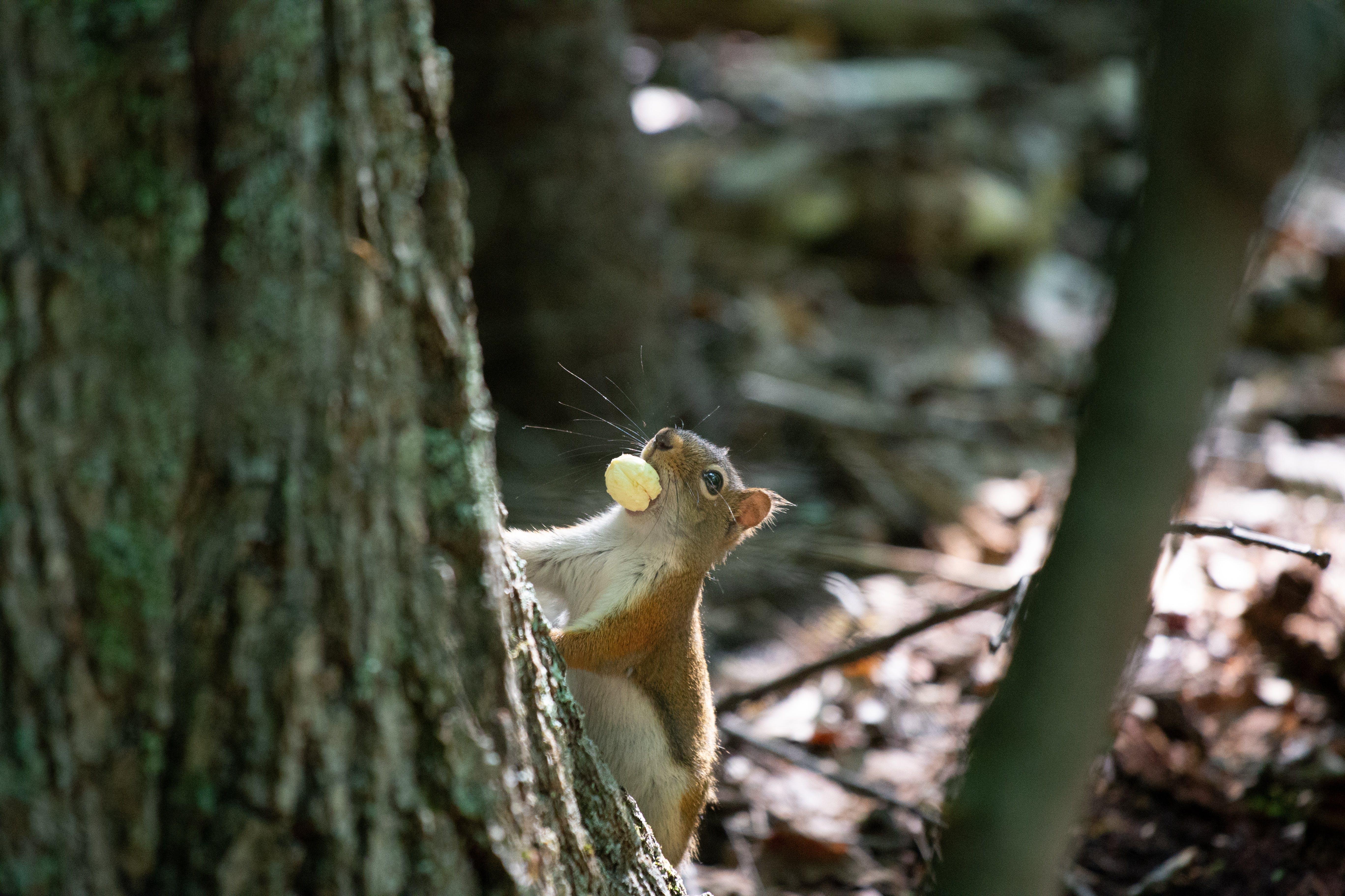Kostenloses Stock Foto zu baum, eichhörnchen, fokus, holz
