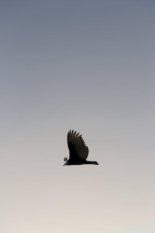 Foto d'estoc gratuïta de àguila, ales, au, ocell