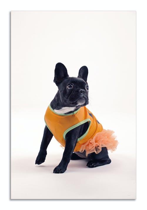 Photos gratuites de animaux mignons, beaux animaux, bouledogue français, chien