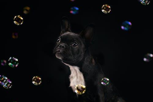 Photos gratuites de bouledogue français, chien, chiots